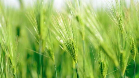 Cresce il grano