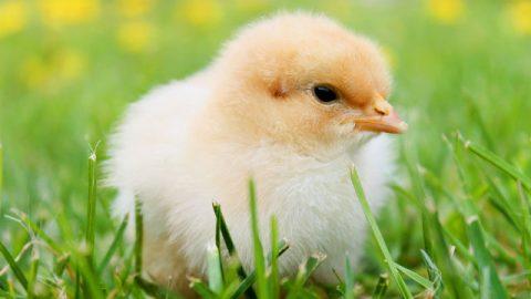Dio ha creato un pollo molto carino