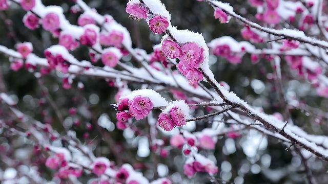 Vitalità tenace, fiori di pruno nella neve