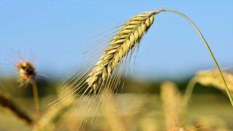Il grano fatto da Dio provvede l'umanità